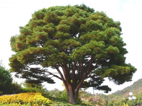 天然記念物 平松のうつくしの松