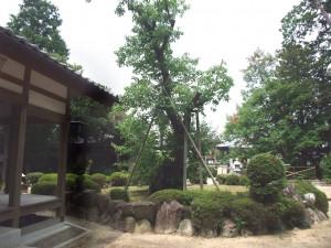 南花沢のハナノキ