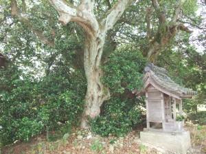 池寺のヒイラギ