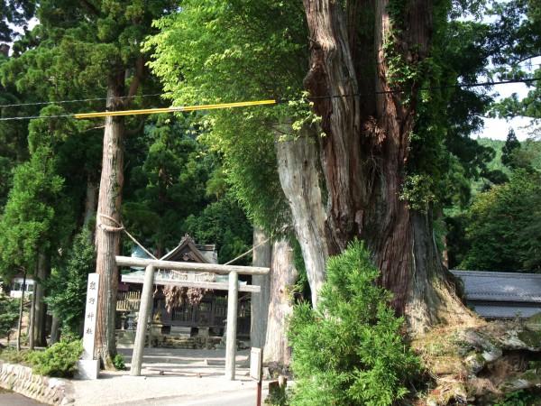 日野町 熊野神社のタコスギ