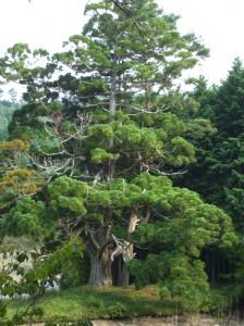 岩尾池の一本杉