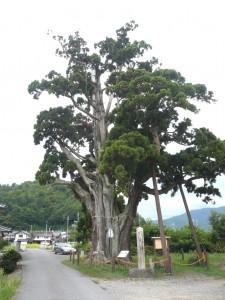 唐川の一本杉