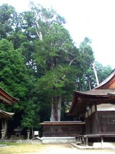 油日神社のコウヤマキ