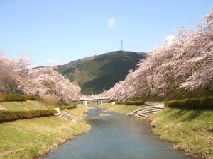 うぐい川の桜