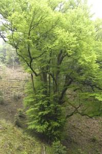 岩間寺の大カツラ
